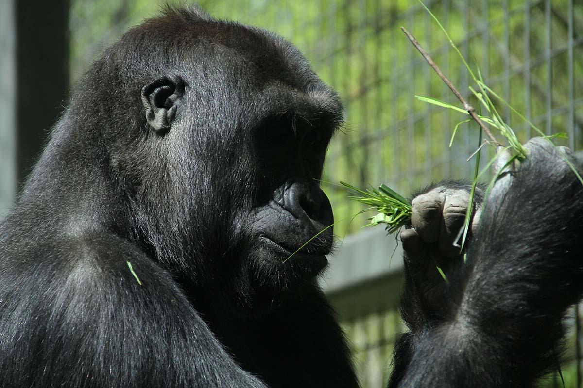 Gorilla-Columbus-Zoo